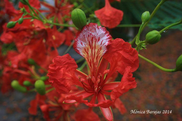 Flor de tabachin