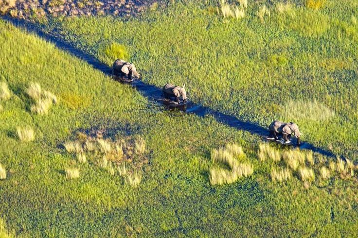 Three elephants wade through the swallows of the Okavango Delta - one of this world great wildernesses. Botswana