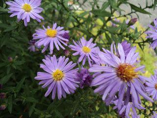 Le Jardin sous le Tilleul: Aster