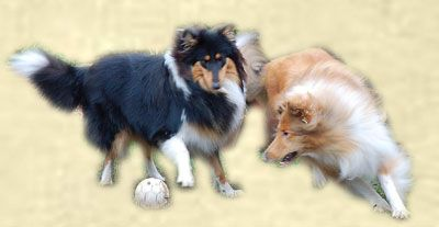 Rough and Smooth Collie breeders in the UK and Europe