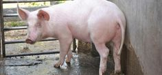 How to make your own pig feed on the farm.   The Organic Farmer