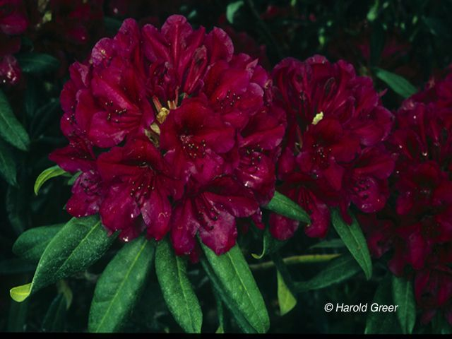 Rh A D Rhododendrons Azaleas And Rhododendrons Trees