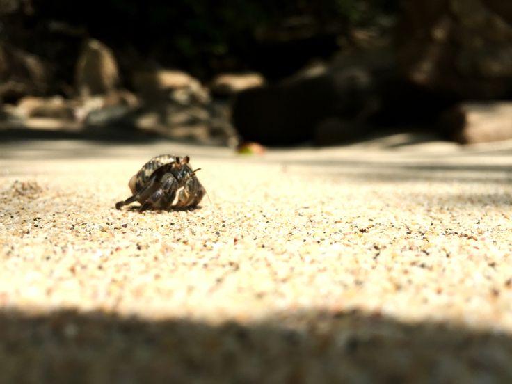 Hermit crabs in Panama, Isla Contadora, Pearl Islands, Panama.   #hermitcrab #beach #beachesinpanama