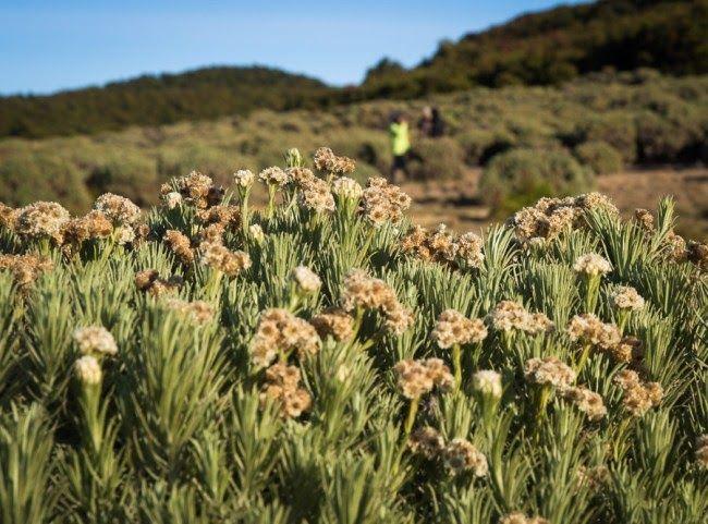 Foto Bunga Edelweis Di Gunung Lawu 8 Tempat Yang Bisa Kamu Kunjungi Untuk Menikmati Keindahan Bunga Edelweis Bunga Keabadi Bunga Latar Belakang Pemandangan