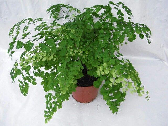Eucalyptus Plant Binnen