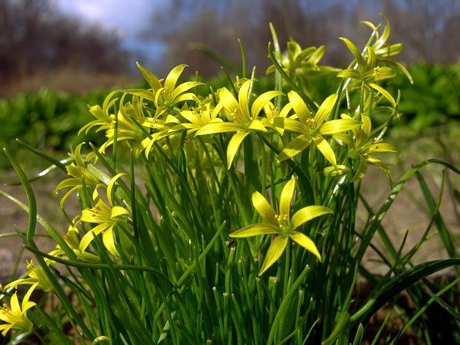 Dvärgvårlök, Gagea minima - Blomväxter - NatureGate