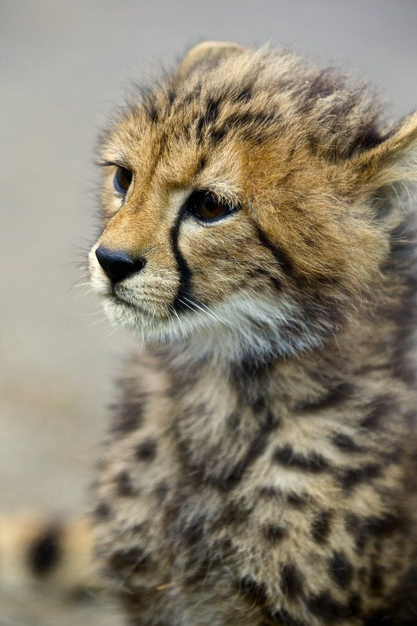 A cheetah-cub by Joe Motohashi, via 500px