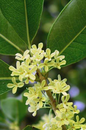 ❤❤ Osmanthus fragrans (sweet osmanthus;  also known as sweet olive, tea olive and fragrant olive) is a species of Osmanthus native to Asia, from the Himalaya east through southern China (Guizhou, Sichuan, Yunnan) and to Taiwan and to southern Japan.