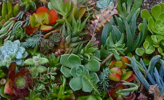 30 SUCCULENT CUTTINGS Succulent plant by Succulentsplus on Etsy, $17.50
