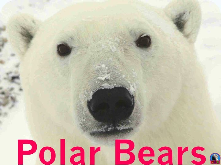 This informative and dynamic PowerPoint presentation illustrates and explains the polar bears' - habitat - diet - appearance and physical characteristics - unique adaptations for hunting and survival - mammal classification - family life - predators and dangers - many fun facts - and much more. It also includes a few higher-level thinking writing activities. by Ryan Nygren photo by…