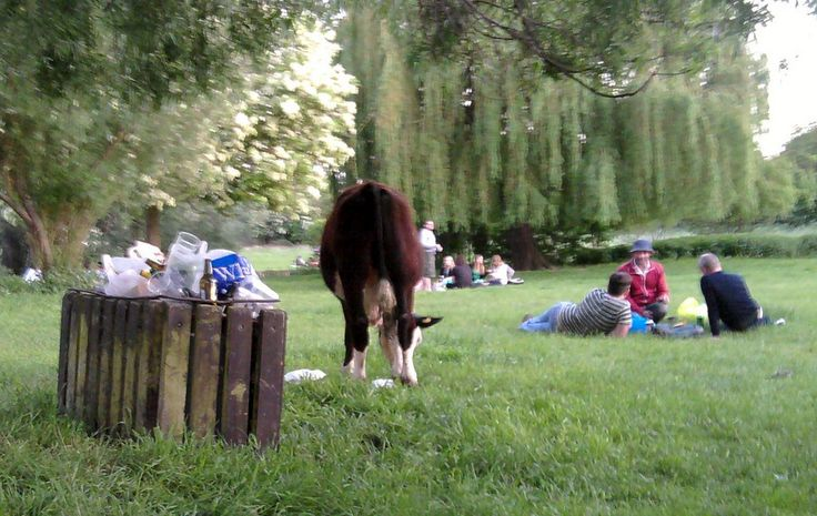 Picnicking amongst the cows