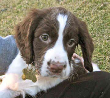 English Springer Spaniel Rescue   ... springer spaniel puppies new england english springer spaniel rescue