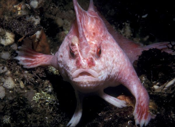 Using its fins to walk, rather than swim, along the ocean floor in an undated picture, the pink handfish is one of nine newly named species described in a recent scientific review of the handfish family.    Only four specimens of the elusive four-inch (ten-centimeter) pink handfish have ever been found, and all of those were collected from areas around the city of Hobart, on the Australian island of Tasmania.    Though no one has spotted a living pink handfish since 1999, it's taken till now…