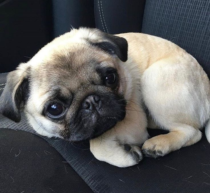Snug As A Pug In A Rug! :)