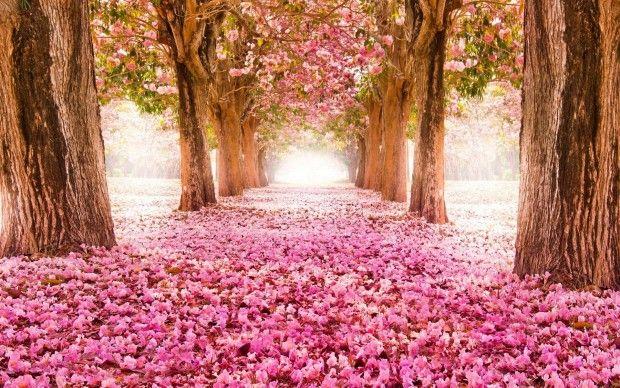 Pink blossom flowers Spring tree hd wallpaper