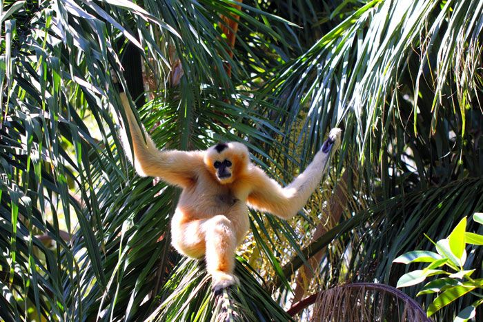 Female Northern White-Cheeked Gibbon in Adelaide  http://www.genders.com.au/