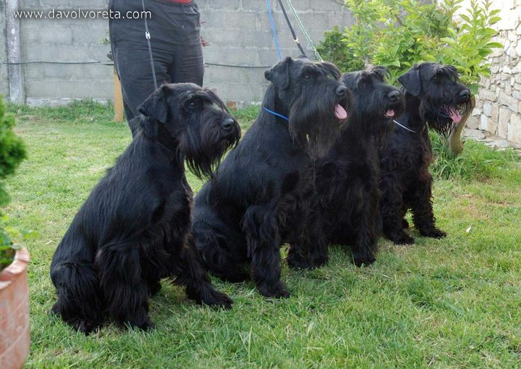 From the left to the right: Kettle, Star, Jira and You, 3 females and 1 male of black standard schnauzer.