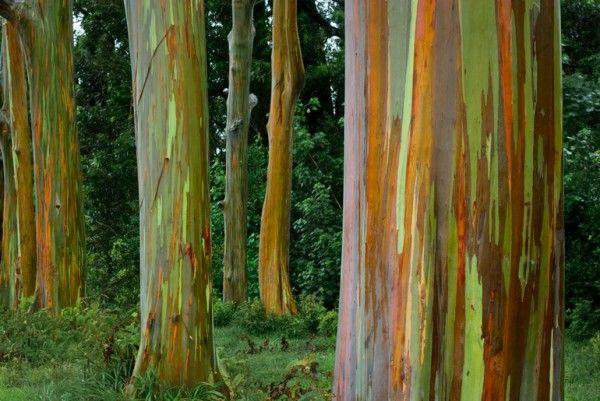 15 incríveis obras da natureza - Árvores de eucalipto arco-íris do Havaí