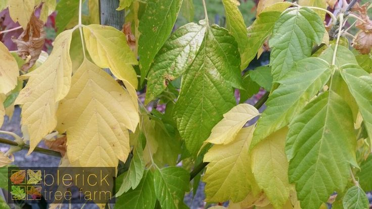 Acer negundo – Kelly's Gold – Purchase Bare Rooted Trees Online