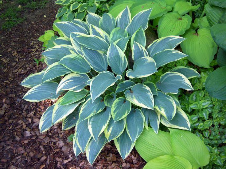 Hosta 'Sleeping Beauty' (Walters Gardens Inc.)   Hartvormig blauw blad met een crème gele rand, 'Halcyon' sport en toch anders dan 'First Frost'.  Bloemkleur lila. Optimale standplaats halfschaduw/schaduw. Hoogte 35 - 45 cm