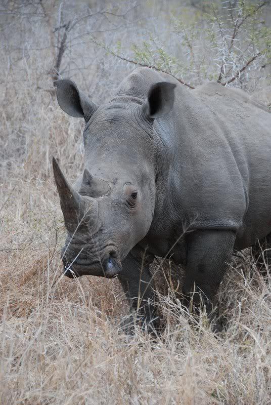Rhinoceros - at Kwa Madwala, South Africa