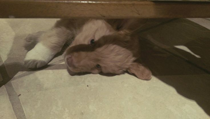 Oh – playing is hard when you are a nova scotia duck tolling retriever ( toller ) puppy  :-D