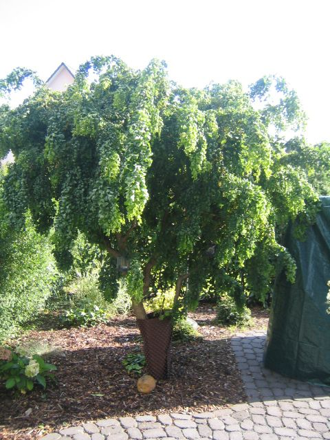 Atemberaubend Korkenzieher-Akazie 'Tortuosa' - Robinia pseudoacacia 'Tortuosa &NR_55