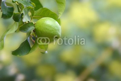 Limone appeso all'albero con foglie _2 #agrumi , #benessere , #foglia , #fresco , #giallo , #nessuno , #pianta , #verde , #acido , #agrume , #alimento , #dessert , #frutta , #gruppo , #ingrediente , #lime , #limonata , #limone , #met à, #primo_piano , #salute , #sezione , #sfondo , #succo , #agricoltura , #albero , #bio , #cedro , #aromatico , #aspro , #dieta , #freschezza , #mangiare , #rinfrescante , #vitamina #design