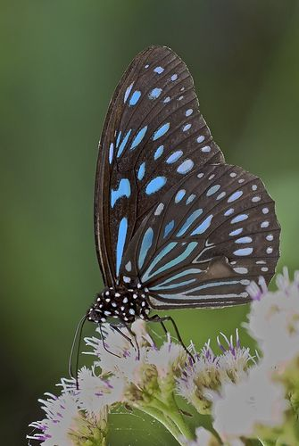 Ceylon Blue Glassy Tiger butterfly