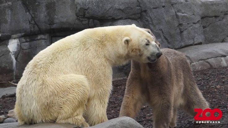 Isbjørnepar forenet i Den Arktiske Ring | Copenhagen Zoo