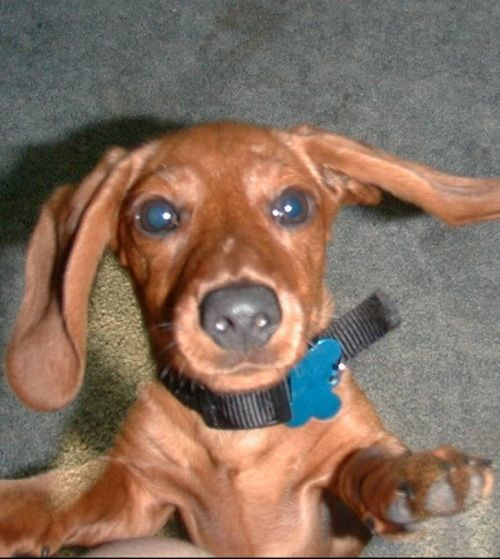 Little wonder dog doxie...Here I come!