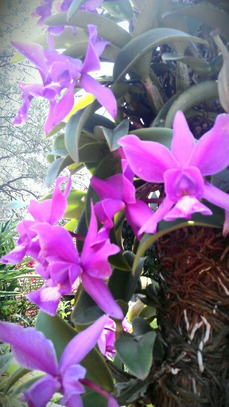 My mom's orchids