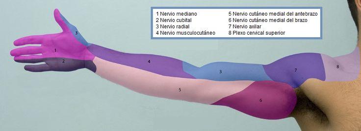 iempre es útil saber cuál es la inervación motora y sensitiva de los distintos segmentos corporales y grupos musculares, por lo que queremos ayudar con este pequeño resumen de los dermatomas y miotomas que componen nuestro cuerpo.  Los dermatomas, para quienes no saben, son el área de la piel inervada por una raíz o nervio dorsal de la médula espinal. Un miotoma, en cambio, es un área muscular inervada por uno o más de un nervio raquídeo