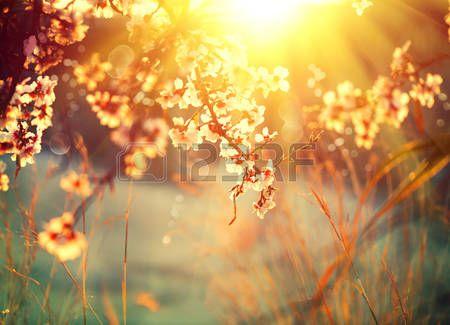 almond flowers sky: Natura bella scena con albero fiorito e il chiarore del sole