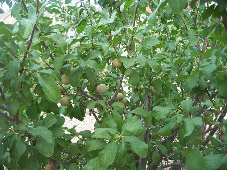Green gage plum an old european plum tree garden for Garden trees types