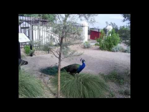 How to see the peacocks of Glendale, Arizona
