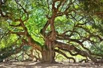 Image result for angel oak tree
