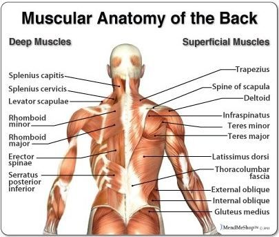 Back Anatomy: All About the Back Muscles