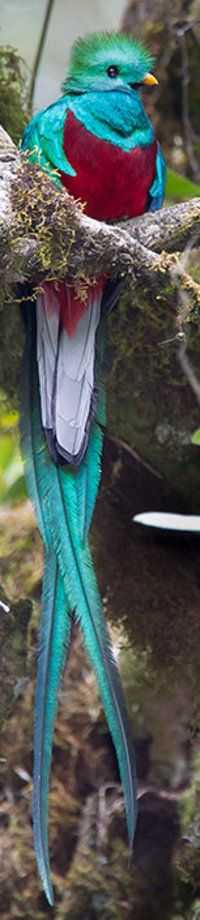 Resplendent Quetzal.