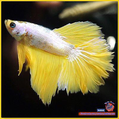 Live-Betta-Fish-Male-Mustard-Dragon-Rose-Tail-Halfmoon-HM-2663 / seller: momo_miniatures