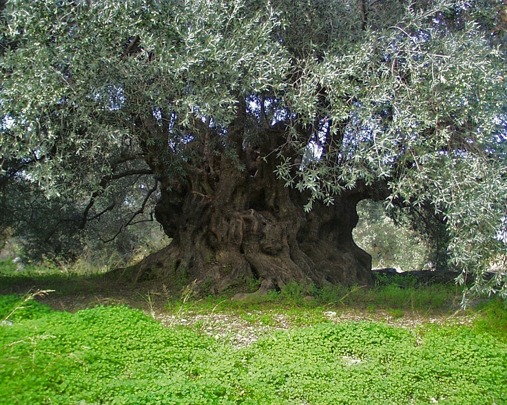 Ancient olive tree: The symbol of peace, prosperity, and wisdom.