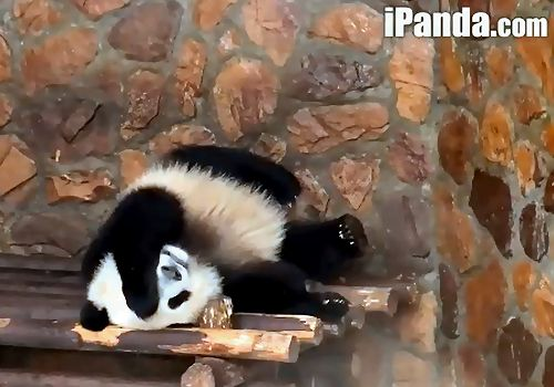 LOL Funny and CUTE Panda Bears - LIVE cam from China!