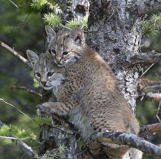 54 best Bobcats images on Pinterest