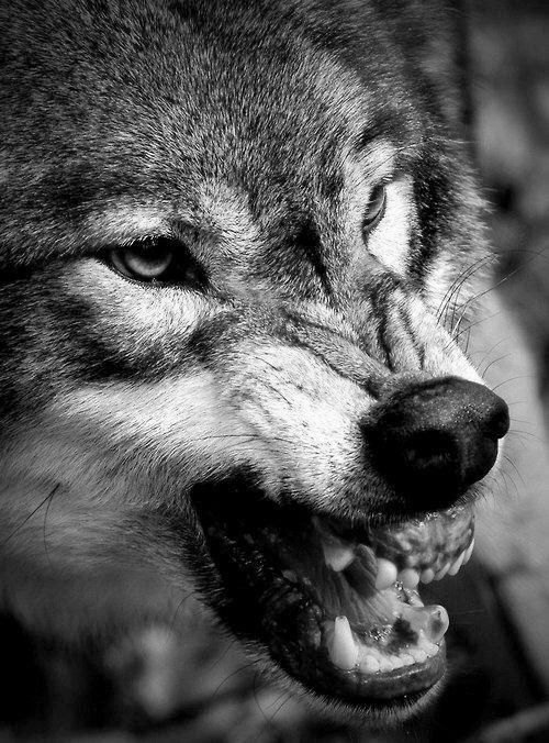 того, чтобы картинки волки злятся расскажем покажем, как