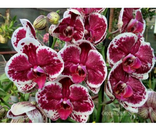 "Phalaenopsis ""Фиолетовый дождь"" Purple Rain"
