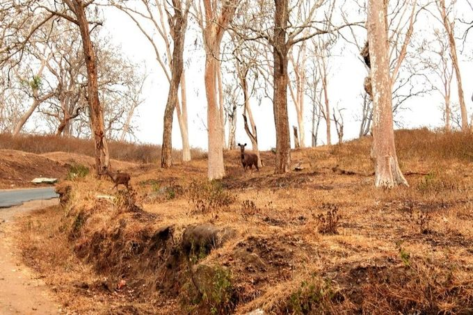 Sambar deer, female adult & juvenile