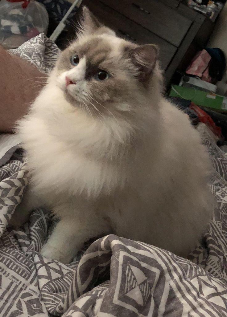 Mein blauer Bicolor Floof:) … Hallo Leute. Bist du #catlover oder hast du …   – Kitties!
