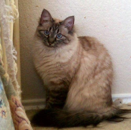 Joon-An elegant Lynx Point available through Austin Siamese Rescue