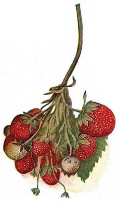 How to grow strawberries in Oregon. good article and links
