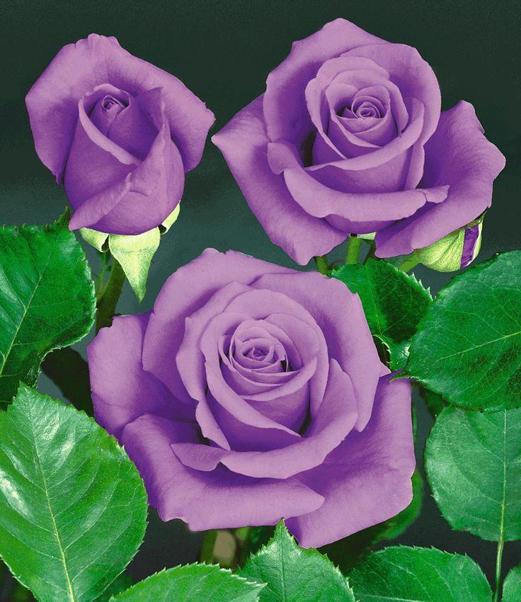 Die besten 25+ blaue Orchideen Ideen auf Pinterest blaue